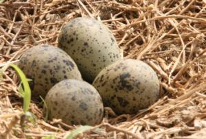 griffon-eieren
